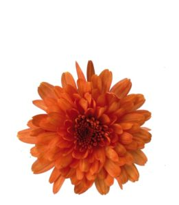 SAUVE GUITTET CHRYSANTHEME 014 ZORA ORANGE FLEUR THUMB LQ